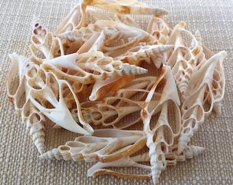 Sea Shells, Seashells, Shells, Bulk Seashells, Craft Shells, Cut Shells, Center Cut Strombus Vittatus