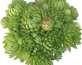 Sempervivum Jovibarba globifera subsp. allionii – Rollers Rollers Rosette Green Ball Lime Green Hens and Chicks