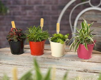 House Plant Mix In Decorative Coloured Metal Pales - Plants - House / Office Live Indoor Pot Plant - Ideal Wedding Favour Party Gifts