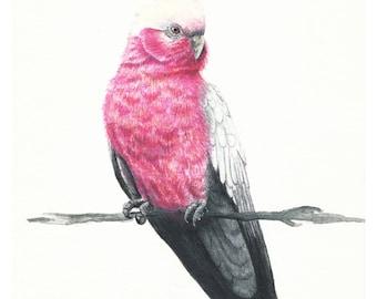 Art Print - Galah Illustration Watercolour