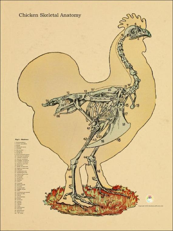 Huhn Skelett Anatomie Poster - 18 \