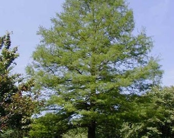 500 Common Bald Cypress Tree Seeds, Taxodium distichum, Northern