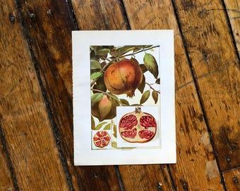 c. 1911 POMEGRANATE PRINT - original antique print - fruit print - food print - fruits and vegetables - botanical print