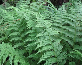 30 new york fern,Thelypteris noveboracensis