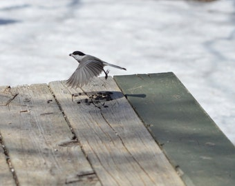 Bird Photo - Black-capped Chickadee takes flight