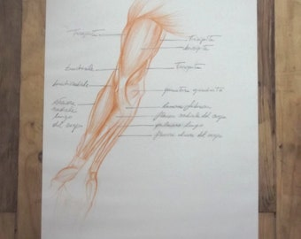 Original drawing 1, Anatomical Table, Arm, Sanguine, with captions