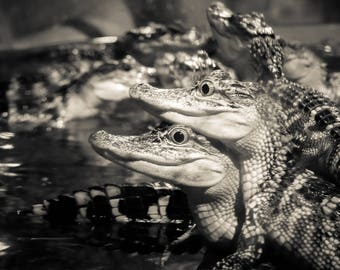 Louisiana Alligator, Baby Alligator, Nature photography, Animal photography, Black and White photography