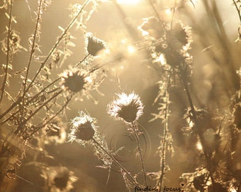 Golden Thistle Photo, Sun Flare Nature Photography Monochromatic Glowing Warm Neutral Sepia Brown Taupe Zen Woodland Natural Wall Art Print