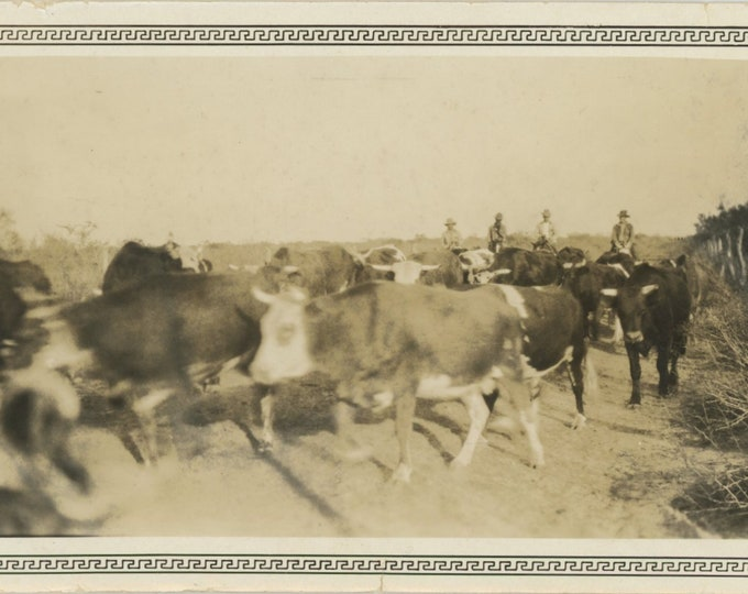 Vintage Snapshot Photo: Cattle Drive [83659]
