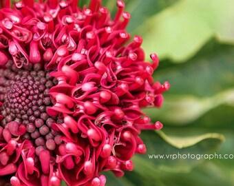 Fine art photography, home decor, fine art print, wall art, metal print, photography, flower photography, red flower