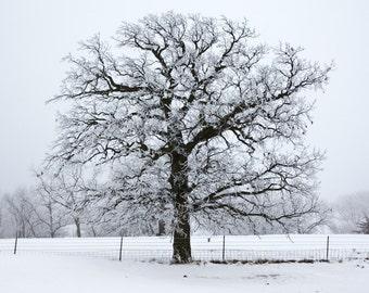 Brrr Oak