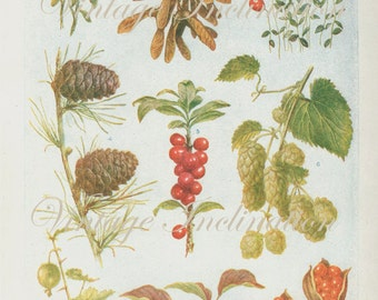 Vintage 1930s Botanical Print Antique BERRIES, plant print botanical print, bookplate art print, berries fruit plants plant wall print 3666