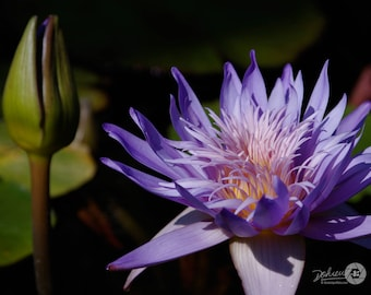 """Four (4) Nature / Purple Waterlilies Photo Note Cards (4.25"""" x 5.5""""), blank inside with envelopes"""