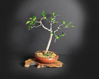 Ficus microcarpa bonsai tree, Indoor bonsai collection from LiveBonsaiTree