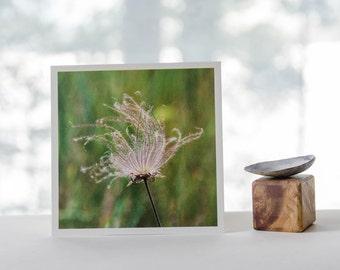 Prairie Smoke, prairie plants, signed photograph, nature photography, Wisconsin photography, natural prairie, square print