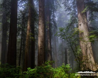 Giants of the Redwood Forest - Crescent City - Redwood National and State Parks - California