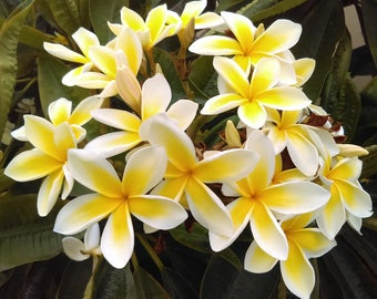 Rare Yellow plumeria one 8-12 inch or larger branch ready to plant