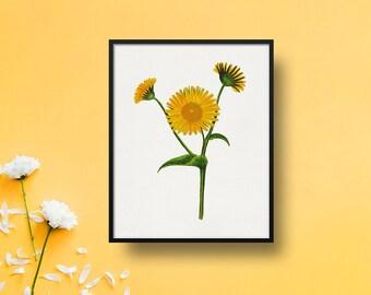Daisy Print, Miss Mason, Yellow Flower Print, Botanical Art Print, Nature, 8x10 Print 5x7 Print, Wall Hanging, Wall Art, Living Room Decor