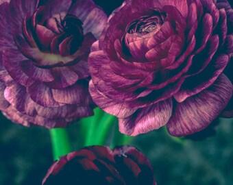Lovely Purple Ranunculus, floral art print, botanical art, bouquet, dark still life photograph, spring blooms, moody, modern minimal art