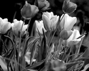 Black and white photography, flower photograph, tulip picture floral photograph, dark grey wall decor art nature print, guest room wall art