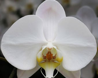 WHITE PHALAENOPSIS Large Moth Orchid Live Plant