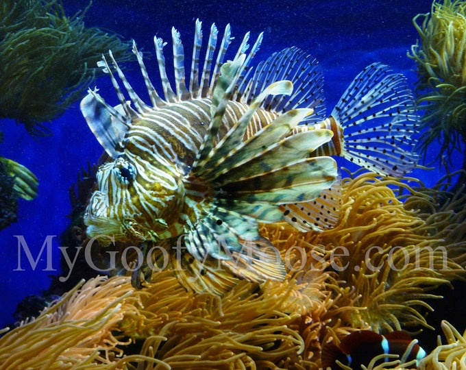 Lion Fish Photo Instant Download - Lion Fish Art Photography - Aquarium Art for Beach Lovers - Travel Photography