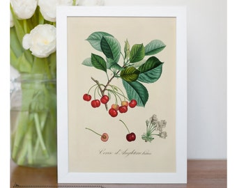 "Vintage illustration of cherries - framed fine art print, botanical art, 8""x10"" ; 11""x14"", FREE SHIPPING  008"