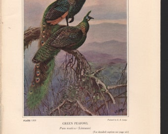 Pheasant print, 1931, Green Peafowl, painted by G E Lodge, see description for details - PD001865