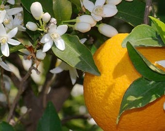 Orange Blossom TYPE scented products /  Shea Butter Soap, Lotion, Sugar Scrub or Body Mist
