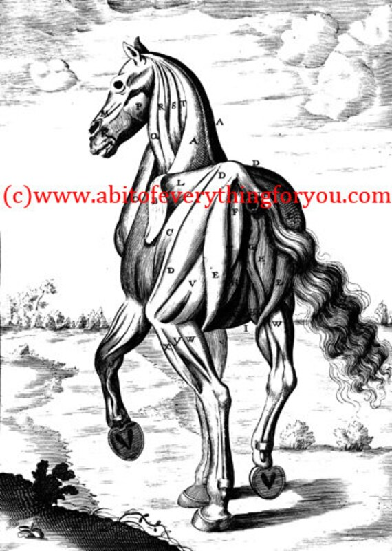 """vintage horse muscle anatomy clipart png jpg Digital Download printable animal art Image graphics digital stamp 5.3""""x 7.4"""" inches"""
