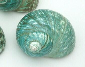 "Beach Decor - Large Polished Jade Turbo Shell 4""-5"" - natural coastal nautical shells sea shells sea shell seashells seashell"