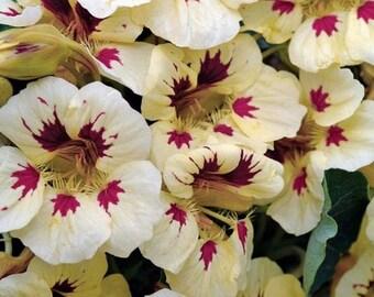 Coccinelle crème avec des graines de fleur de capucine tache pourpre / annuelle 35 +