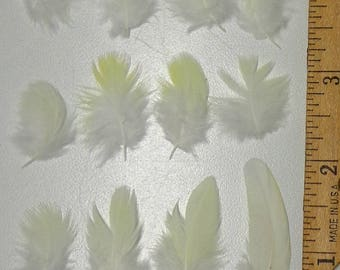 50 White & Pale Yellow Parrot Feathers 1/4 inch to 2 inches CHOOSE YOUR SIZE!***