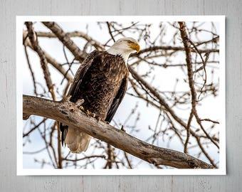 Bald Eagle, Animal Photography, Archival Giclee Print, Bird Wildlife Photo - Multiple Sizes Available