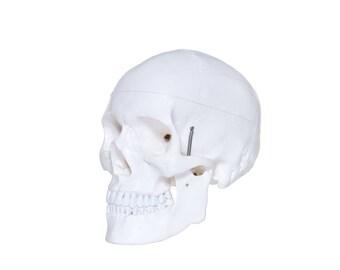 Plastic human skull
