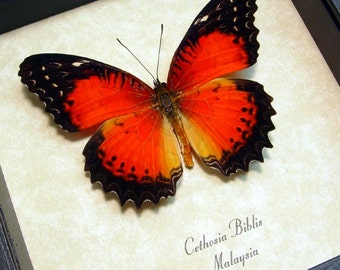 Bright Red Real Framed Butterfly Conservation Quality Display  234