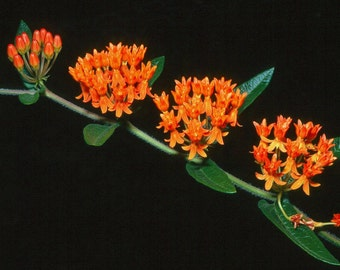 Asclepias tuberosa,  Butterfly Milkweed, 25 seeds, easy wildflower, perennial in all  zones, Monarch butterfly, drought tolerant