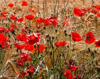 Poppy fields and summer flowers