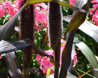 Purple Millet Seeds, Heirloom Garden Seeds, Cut Flower Garden, Dried Flowers, 65 Seeds Fresh From This Year's Crop