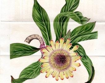 1819 Large Vintage Botanical Print Stemless Protea Curtis pl 2065 Weddell