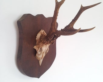 Antique Roe Deer Shield Mounted Antlers