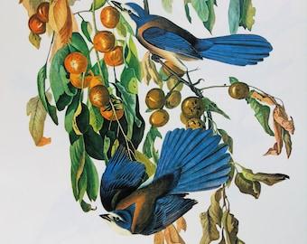 Vintage Audubon Bird Print - Scrub Jay - 1970s Large Book Plate, Colour Bird Print