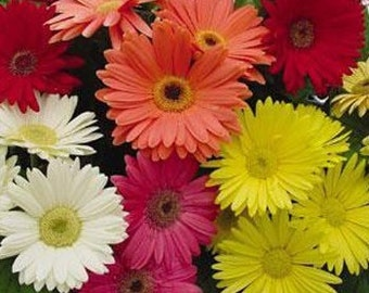 Gerbera Daisy Seeds, Gerbera Jamesonii Mix, Tender Perennial, Show Stopper Color!