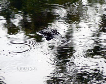Nature Photography, Wall Art Prints, Nature Decor, Fine Art Photography, Louisiana Art Prints, Alligator - Bayou Alligator