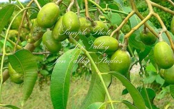3 Stones Seeds Nepali Hog Plum Tree Rare Multiple Seedlings