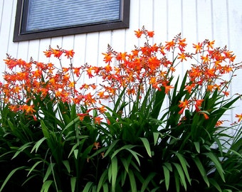 Crocosmia Corms Hardy Perennial Flowers, South African Iris Plants or Corms (Bulbs) Your Choice of 24 or 36