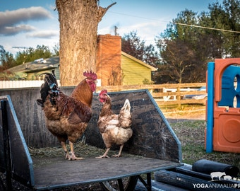 Buffy & Lucy Rooster + Hen, Farm Animal Rescue Chicken Portrait Photography