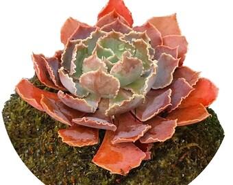 Echeveria Pink Frills Moss Ball Plant Globe,  Japanese Kokedama Garden, Best Moss Ball & Zen Globe Plant for Her