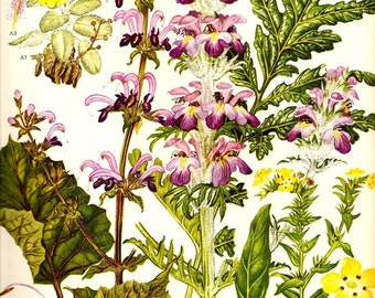 Vintage 1970 Color Art Print Mediterranean Wild Flowers Original Book PLATE 49 Prophet Flower in Pink and Violet Blooms and Yellow Spring Flowers