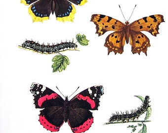 Butterflies Print  - Vanessa Butterflies - 1974 Vintage Book Page - World Butterflies Book - 10 x 8